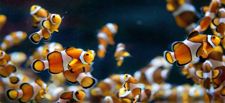 anemon-baligi